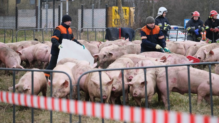Ciężarówka ze świniami przewróciła się na rondzie. Część zwierząt padła