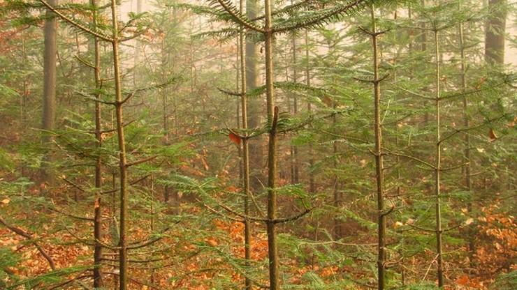 Młode drzewka jodły, ogołocone z niemal wszystkich gałęzi