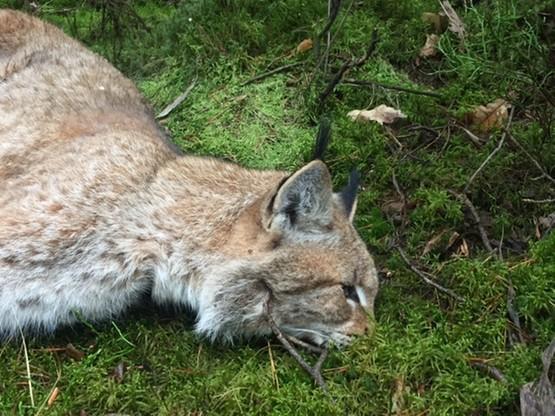 Ryś to największy europejski kot, który w Polsce jest bardzo rzadko spotykany