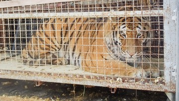 Tygrysy koczują... na przejściu granicznym z Polską. Jedno ze zwierząt padło