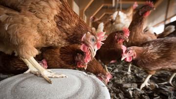 Ognisko ptasiej grypy w Wielkopolsce. Wybiją ponad 900 tys. kur
