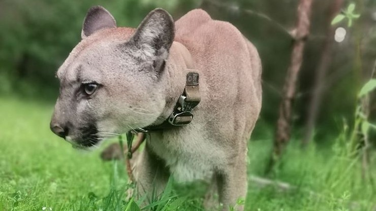 """Puma Nubia nadal tęskni i nawołuje opiekuna. """"Traci poczucie bezpieczeństwa"""""""