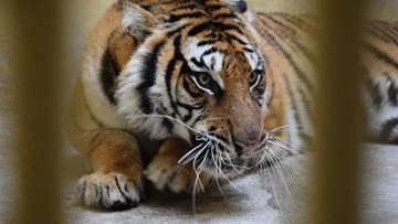 Organizator transportu tygrysów może wyjść na wolność