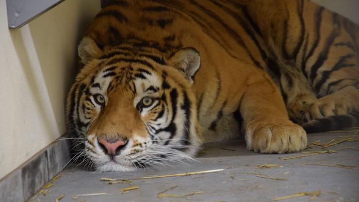"""Wyniki sekcji zwłok tygrysa przewożonego z Włoch. """"Błędy żywieniowe"""""""
