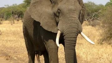 Namibia wystawia na sprzedaż 170 słoni