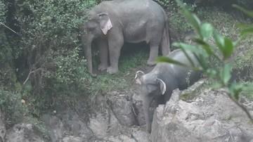 Znaleziono ciała kolejnych słoni, które zginęły w wodospadzie w Tajlandii