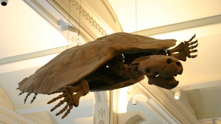 Odkopano prehistoryczną skorupę żółwia o wielkości samochodu