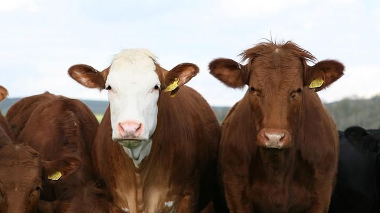 Winni znęcaniu się nad zwierzętami w ubojni bydła w Kalinowie będą ukarani