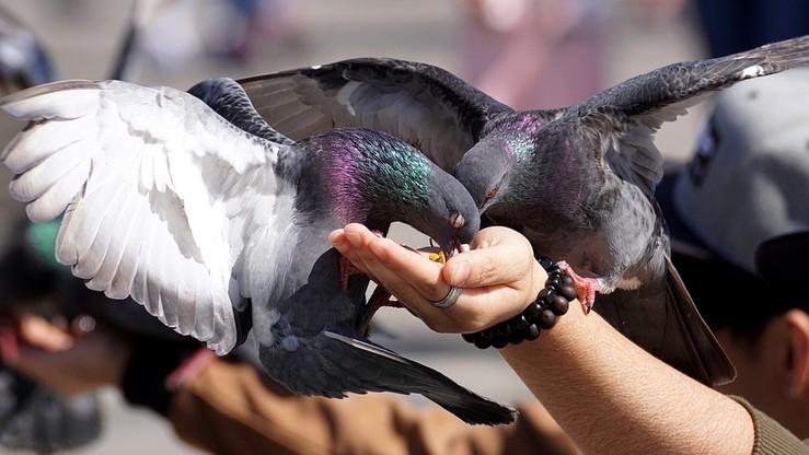 Ukradł stado gołębi. W więzieniu może spędzić dziewięć lat