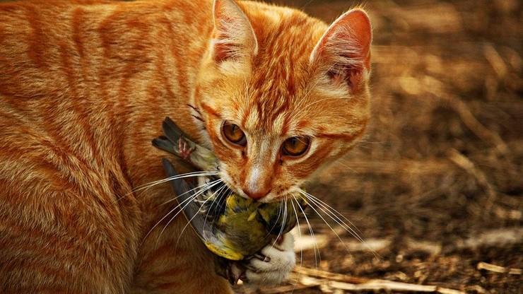 Kot na smyczy - wkrótce mogą to nakazywać przepisy