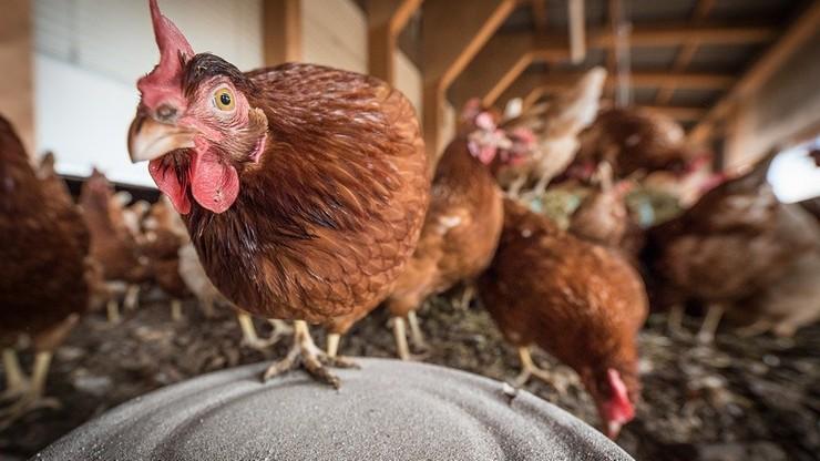 Nowe ognisko ptasiej grypy w Topoli Osiedlu. Wybiją 65 tysięcy kur